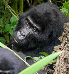 flying gorilla safaris